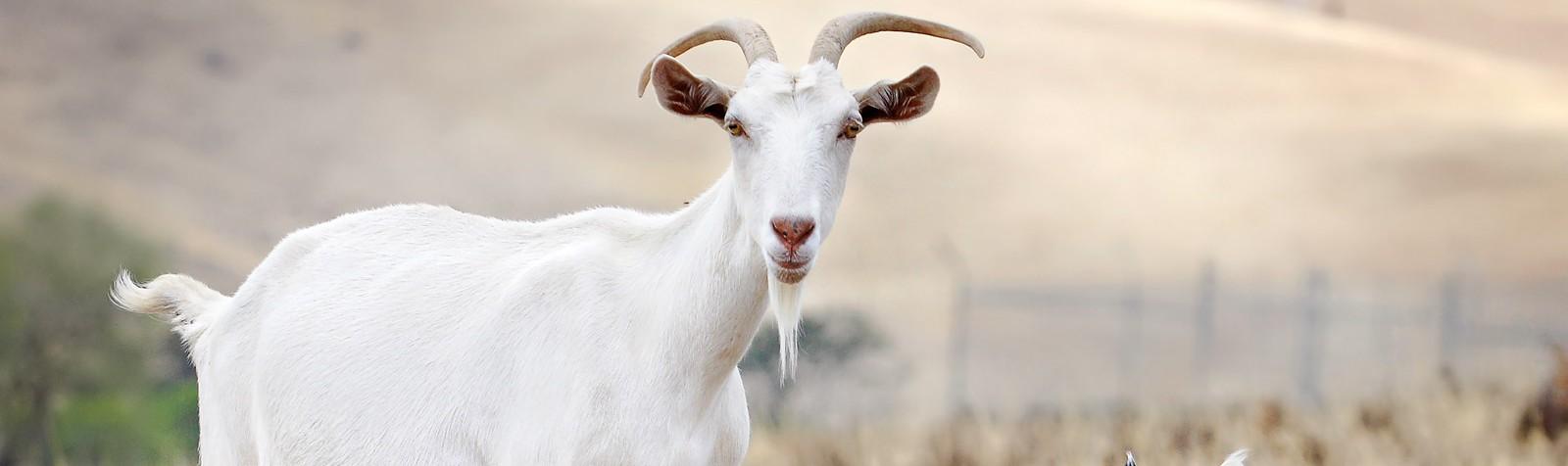 Goat_family
