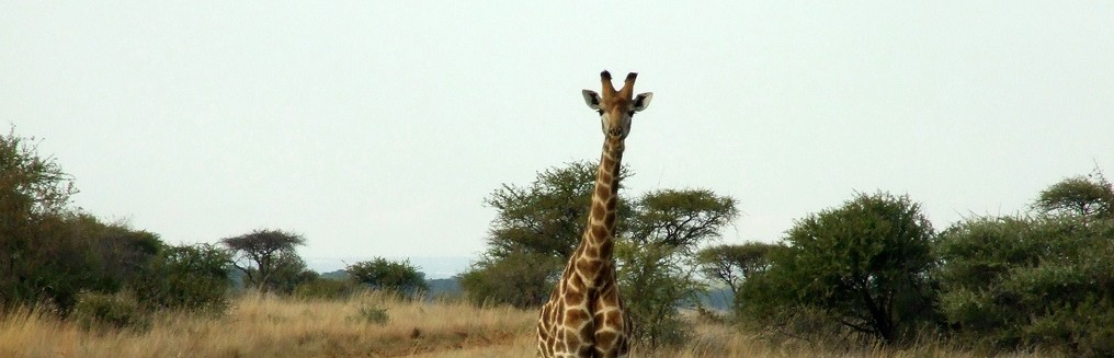 giraffe-philippa-dell